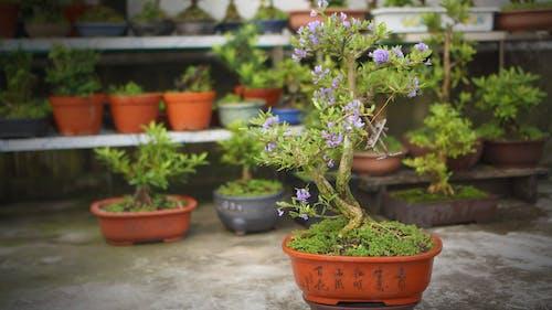 Free stock photo of Linh sam bonsai