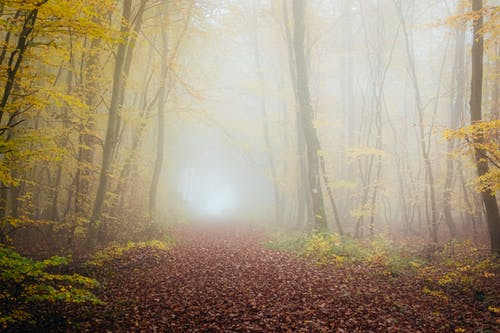 Misty forest with tall trees covered with yellow leaves