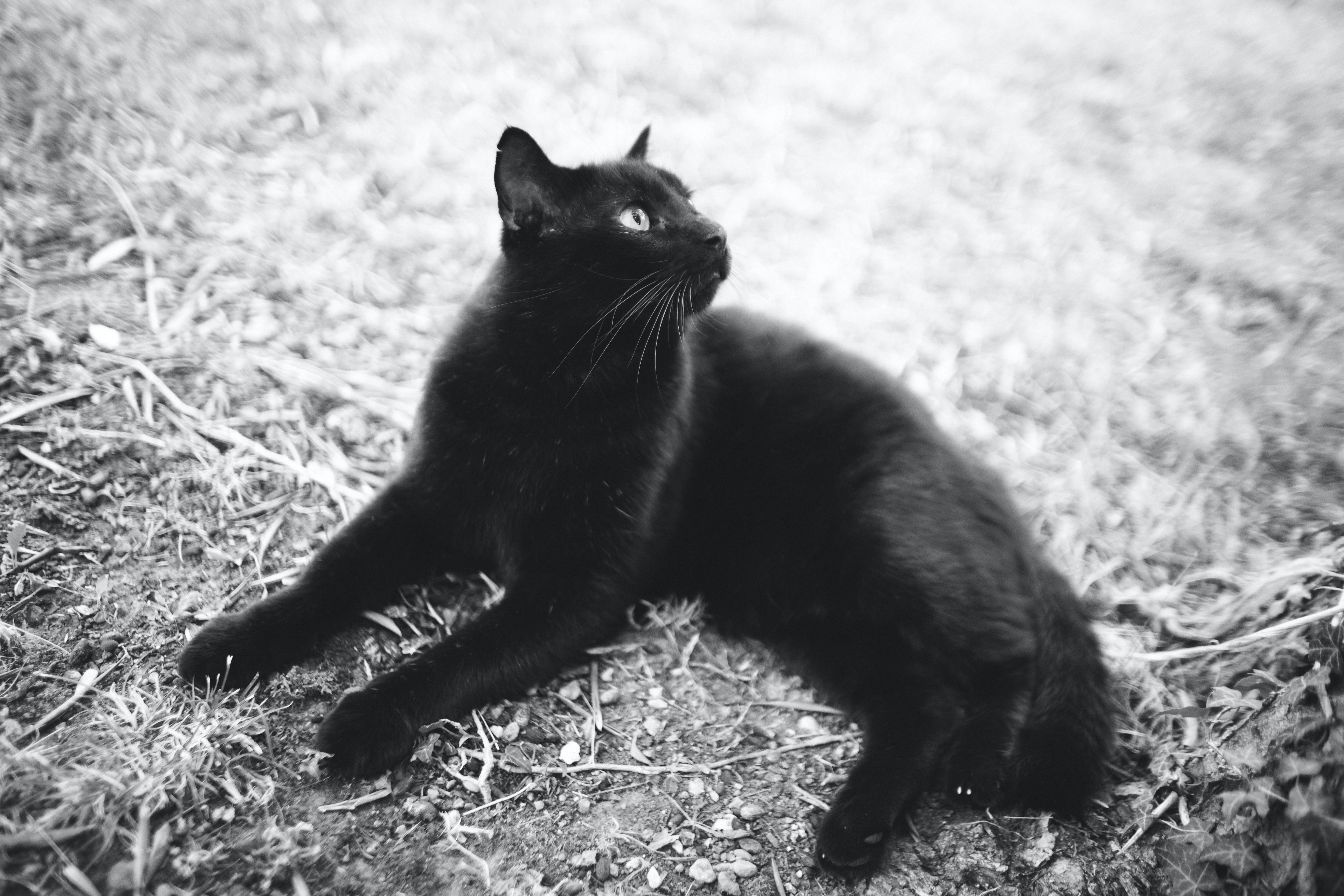 black, black cat, cat