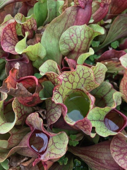 Free stock photo of carnivorous plant, flower, leaf