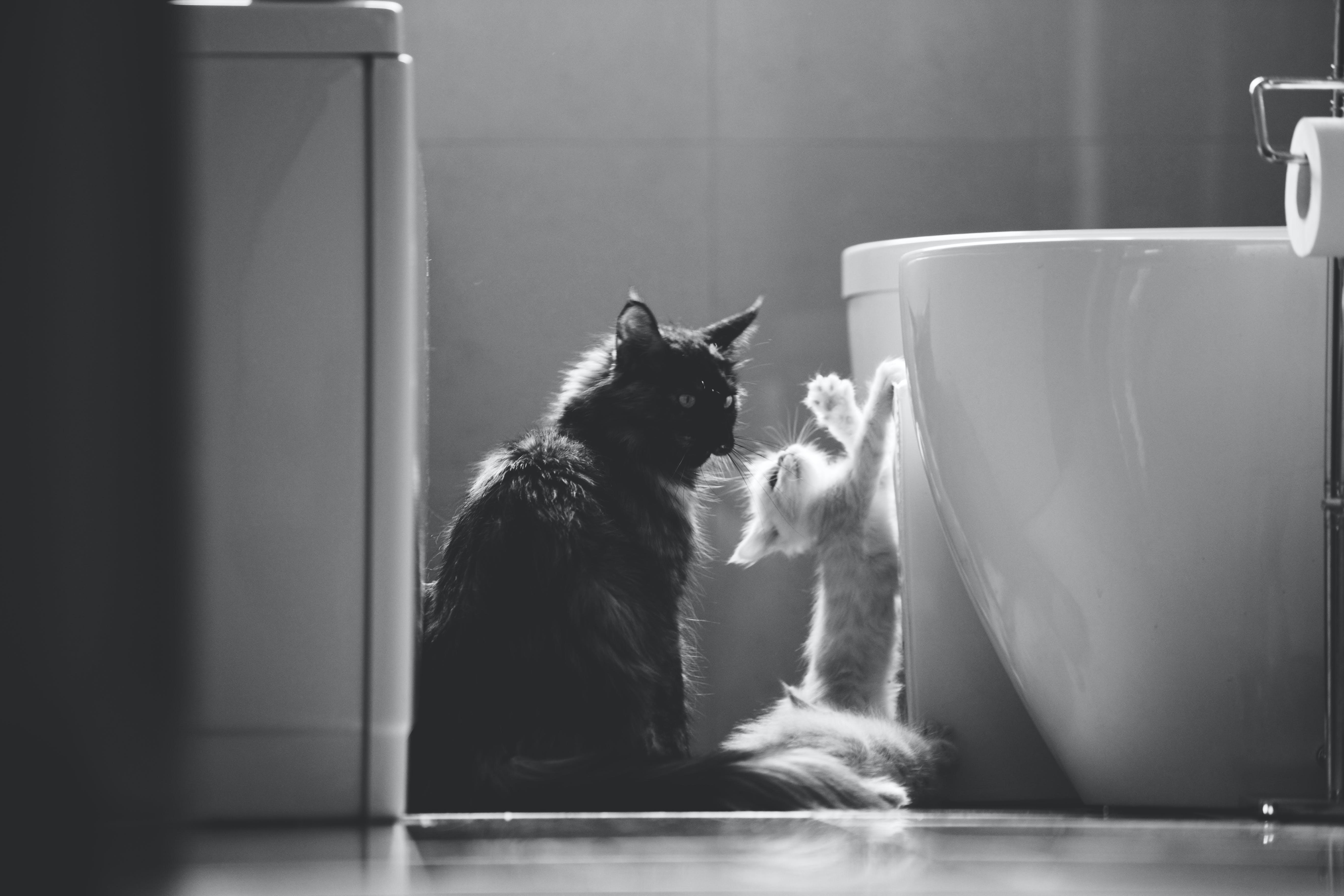 amerikanische waldkatze, badezimmer, kätzchen