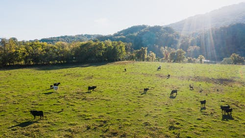 Cattle of cows pasturing on abundant green field surrounded by lush trees in sunny countryside