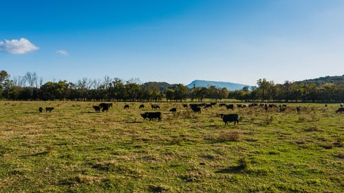 Cows grazing on lush sunny pasture