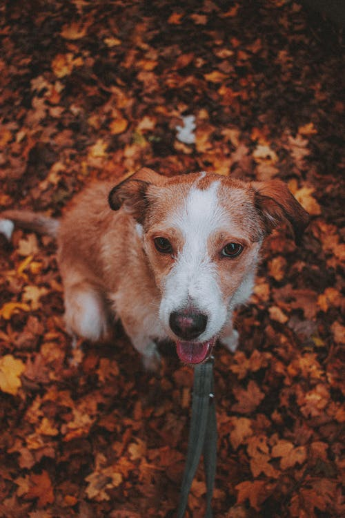 Brown and White Short Coated Dog on Brown Dried Leaves