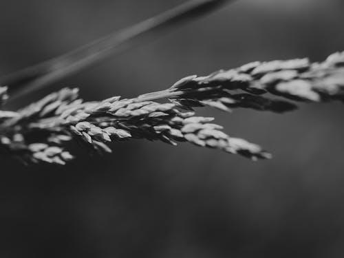 Kostnadsfri bild av svartvitt, vete