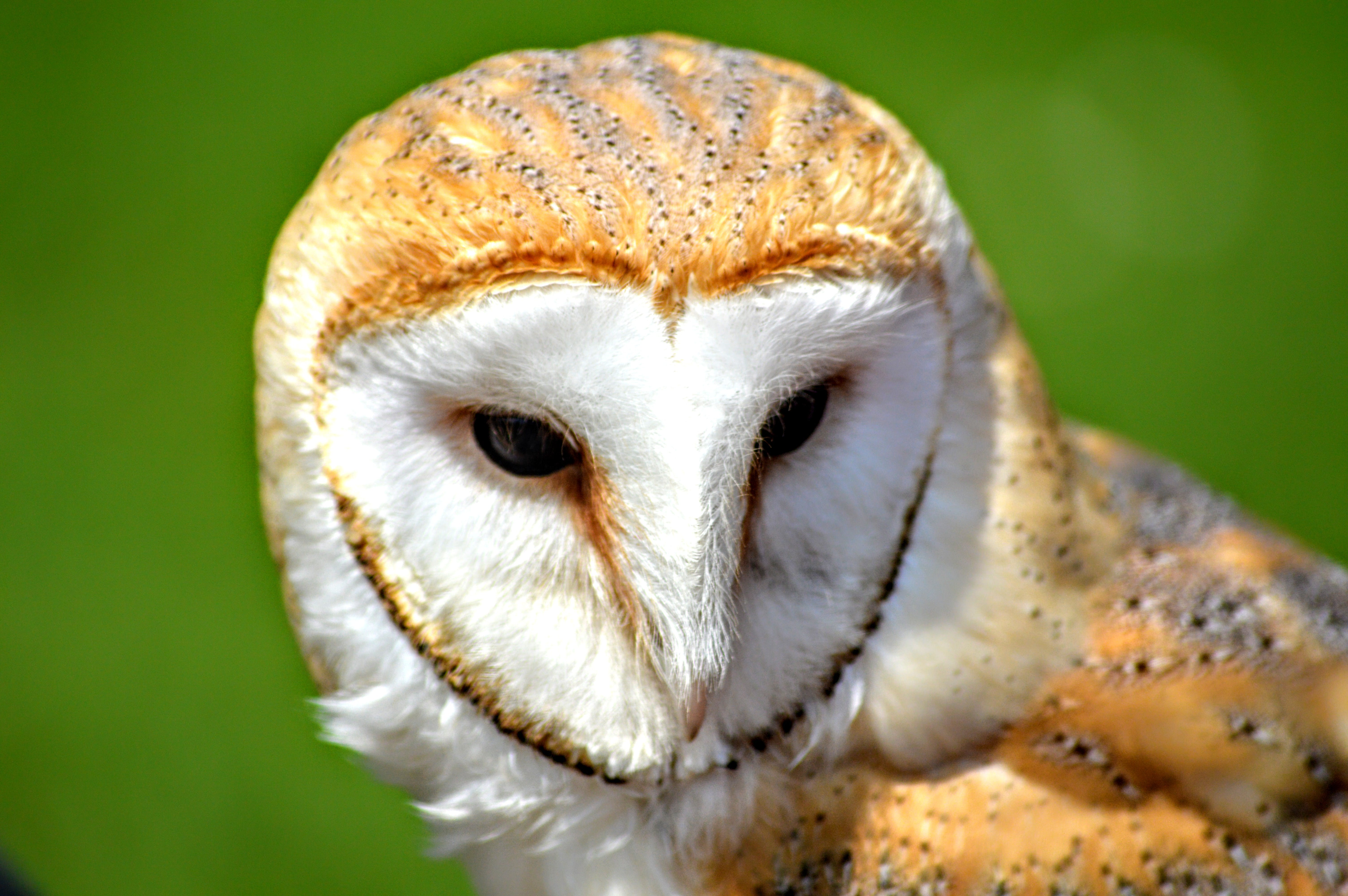 Free stock photo of animal, barn owl, bird, bird of