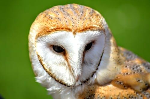 Free stock photo of animal, barn owl, bird of, hunter
