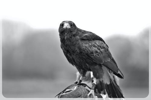 Free stock photo of animal, bird of prey, black and white