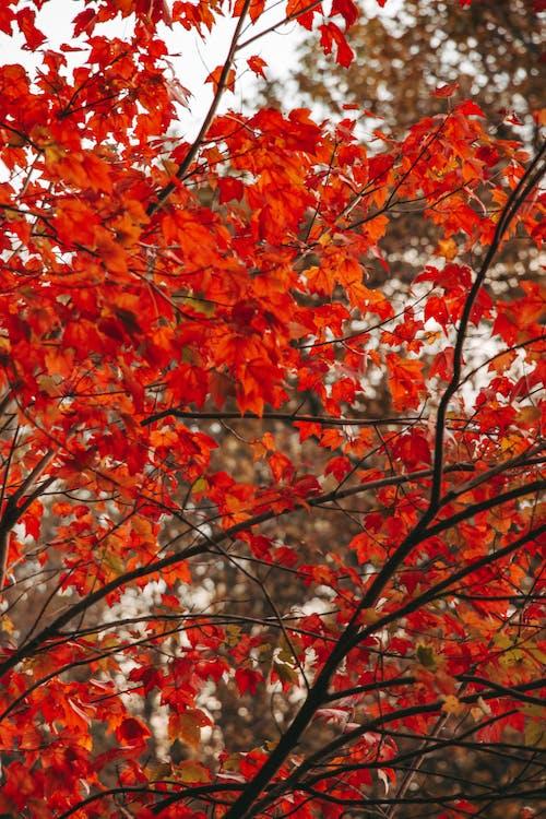 Orange and Brown Maple Tree