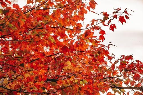 Orange Maple Tree Under White Clouds