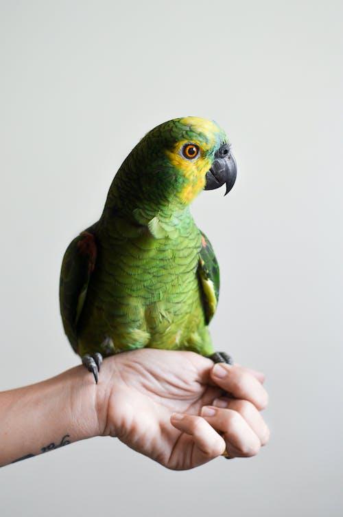 Darmowe zdjęcie z galerii z domowy, gospodarski, papuga, ptak
