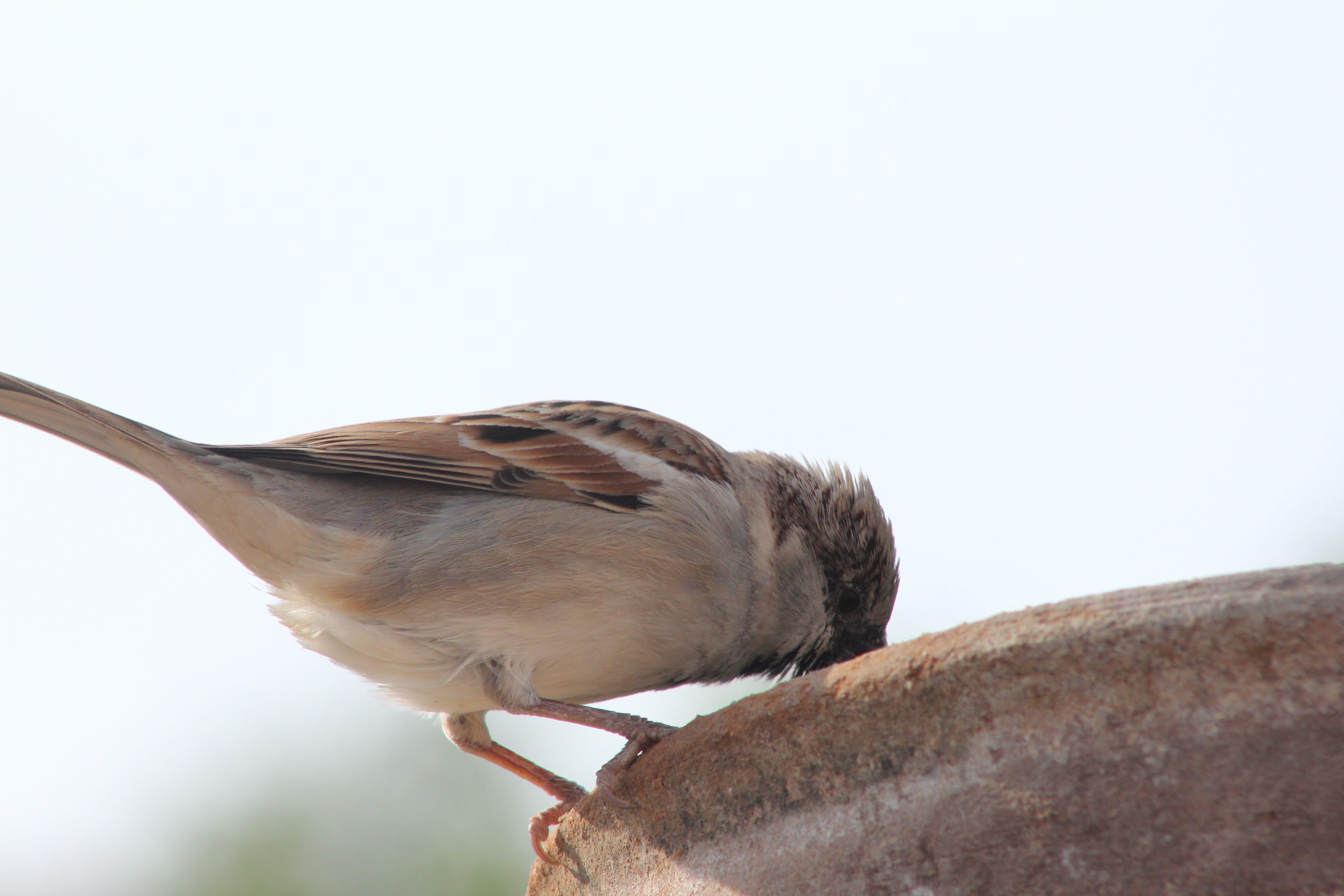 Free stock photo of bird, drinking, indian, sparrow