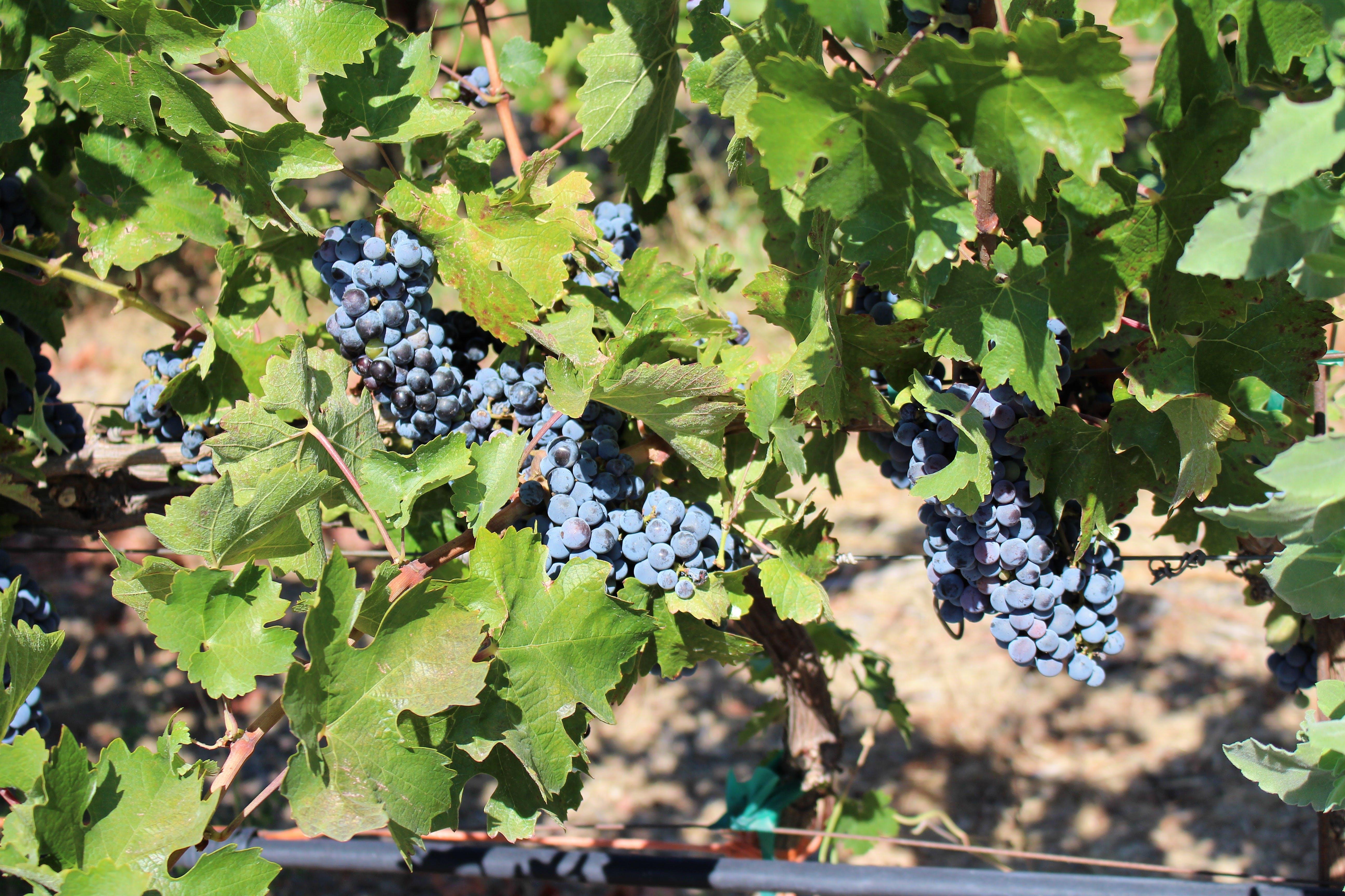 Free stock photo of fruit, fruit plant, grape juice, grape vine