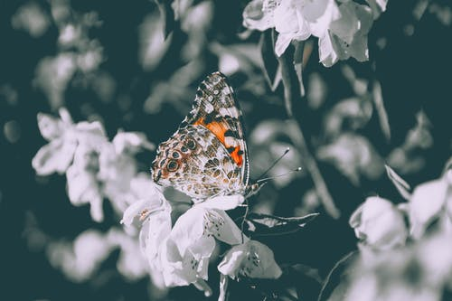 Orange and Black Butterfly Perched on a White Flower