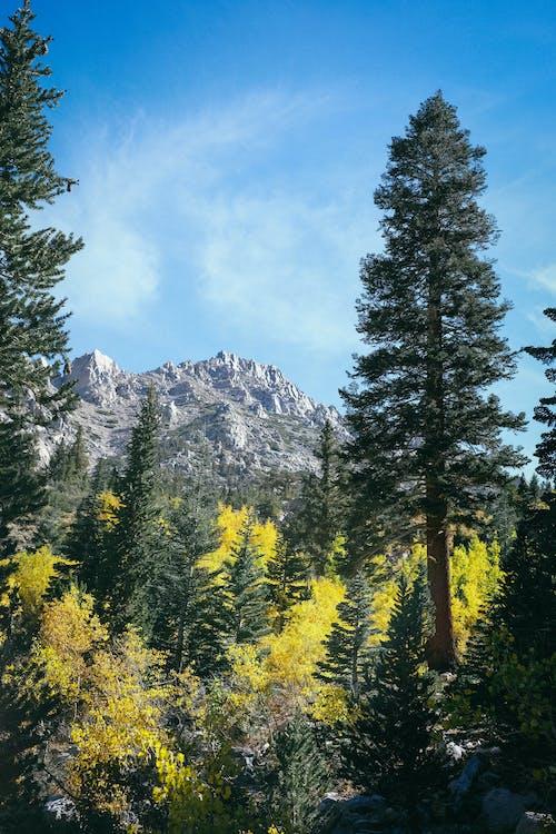 モミの木, 山, 山脈