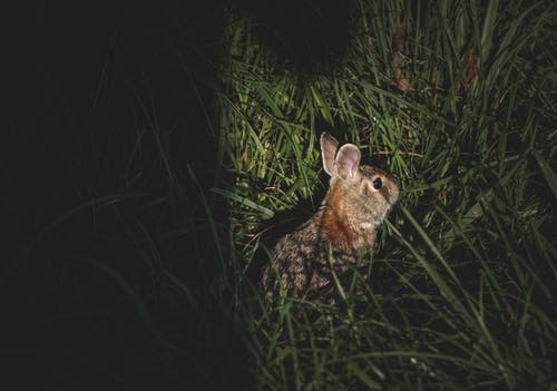 Cute little gray fluffy rabbit sitting in tall green grass in nature at night