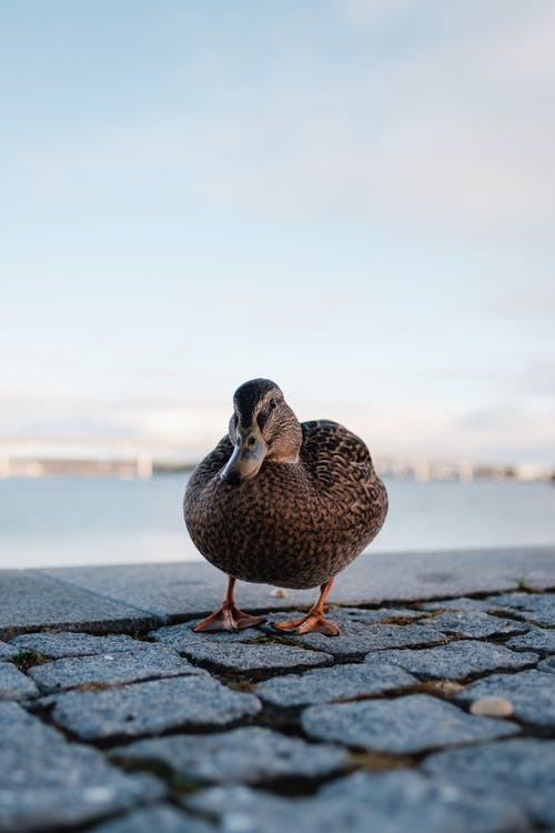 Brown Duck on Gray Concrete Floor