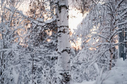 White and Brown Tree Covered With Snow