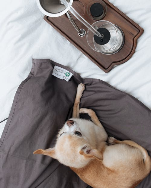 Small Chihuahua by coffee brewing alarm clock