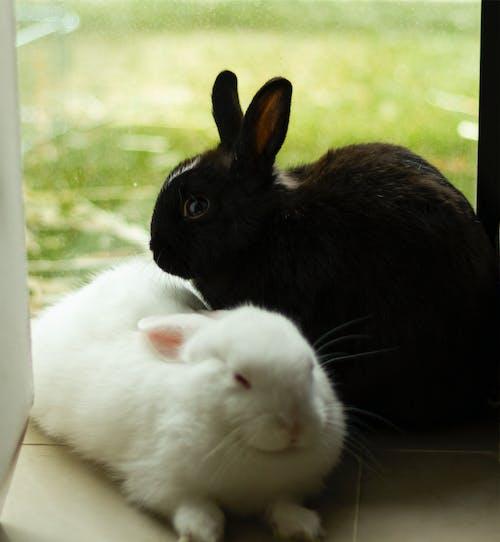 Kostnadsfri bild av svartvit baby kaniner husdjur fluffiga söta kaniner