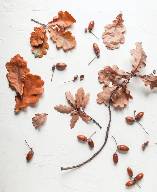 Top view arrangement of dried oak leaves and acorns arranged on white surface