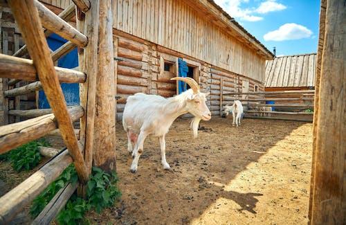 Immagine gratuita di agricoltura, animale, animale domestico
