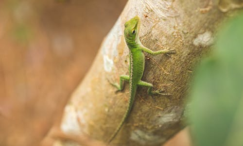 Free stock photo of animals, gecko, lizard