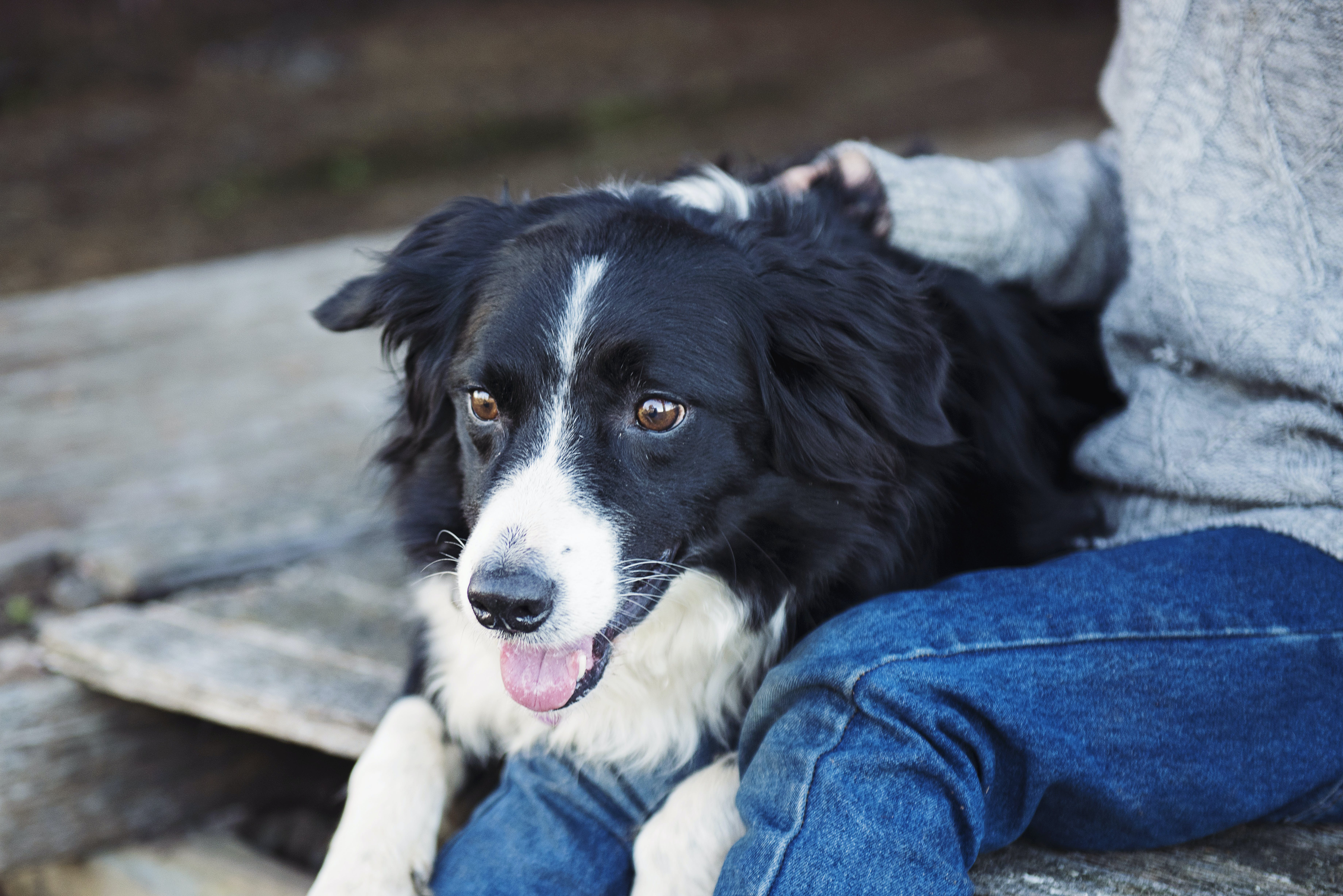 Adult Border Collie on Top of Person's Lap