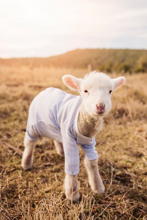 White Lamb Wearing Blue Shirt