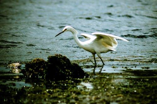 Δωρεάν στοκ φωτογραφιών με άγρια ζωή, άγριο ζώο, ερωδιός, λευκό άπαχο