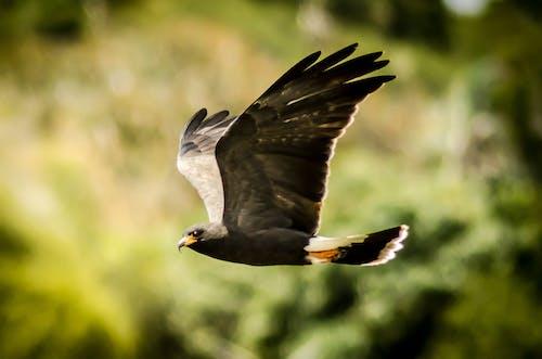 Free stock photo of animal photography, eagle, flying
