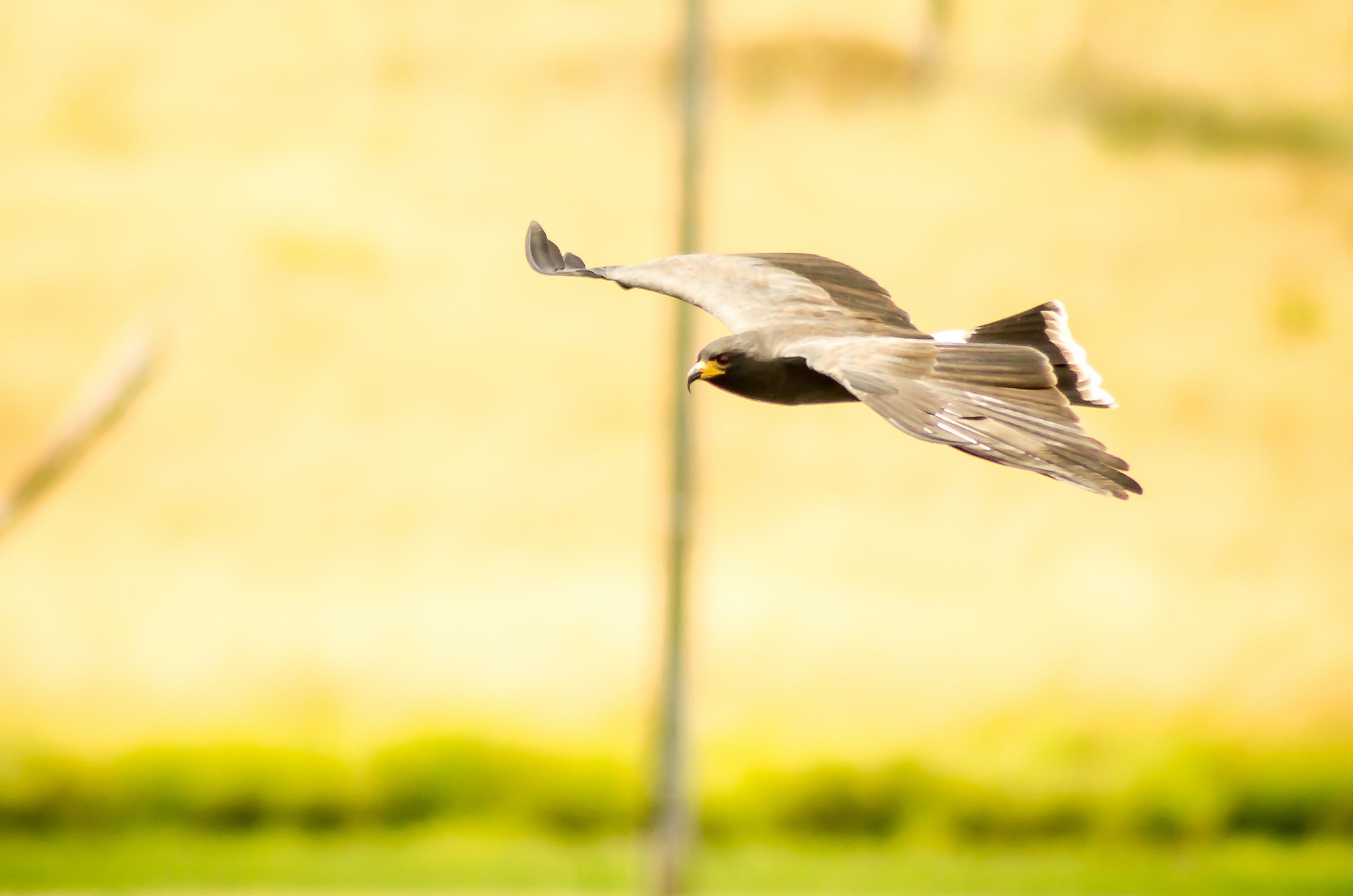 Kostenloses Stock Foto zu draußen, falke, federn, fliege