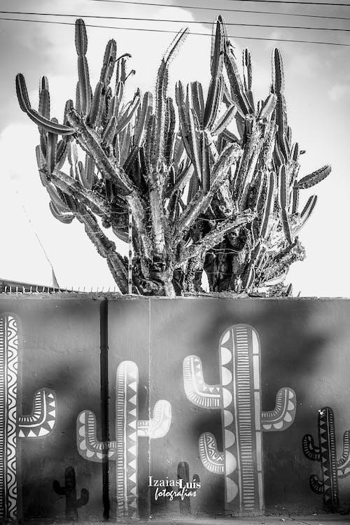 Free stock photo of cactus, cactus plant, urban