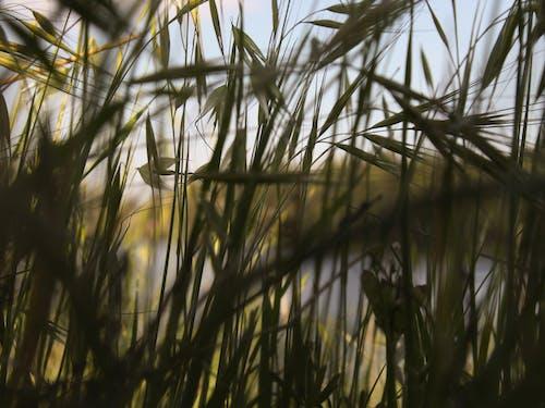 Fotobanka sbezplatnými fotkami na tému atraktívny, cereálna rastlina, chrumkavý, deň