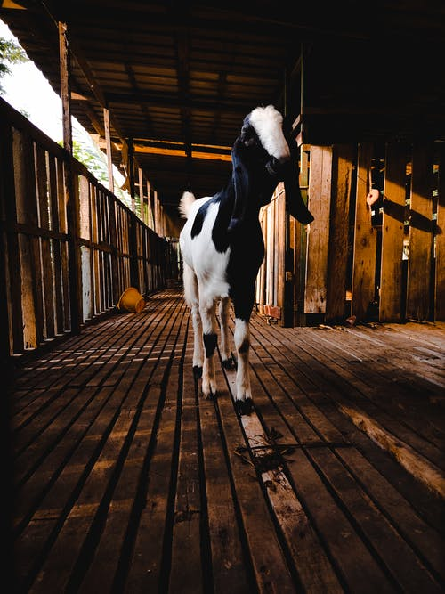 Black and White Cow on Wooden Floor