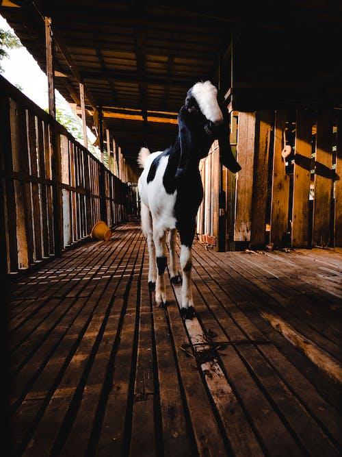 Photos gratuites de chèvre domestique, grange à chèvre, sourire chèvre