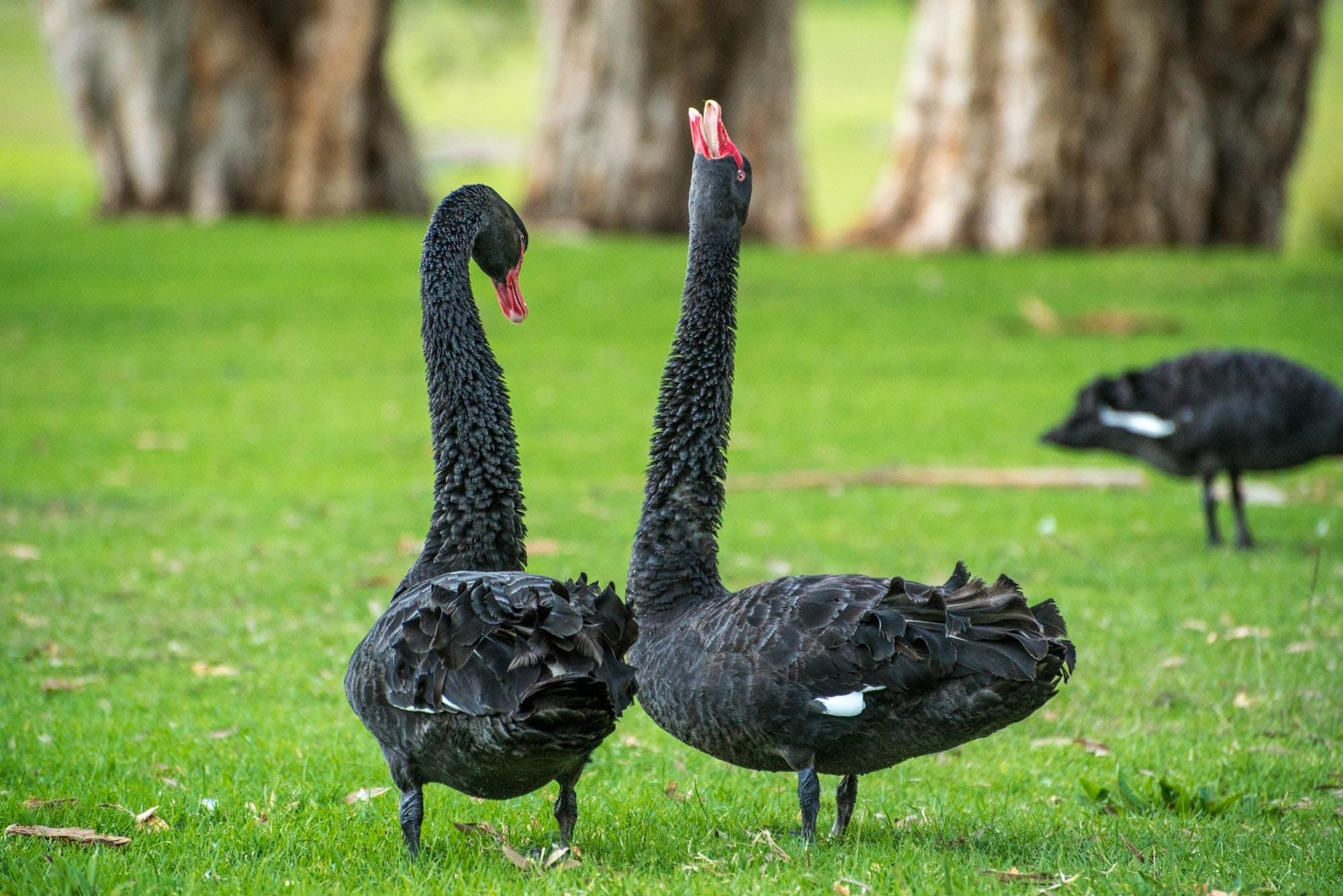 검은 백조, 검은색, 공원, 동물의 무료 스톡 사진