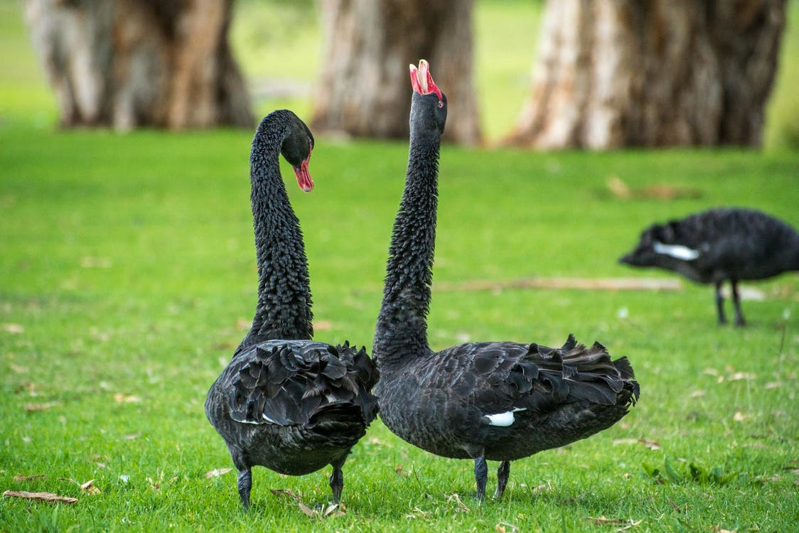 2 Goose Standing on Green Grass during Daytime