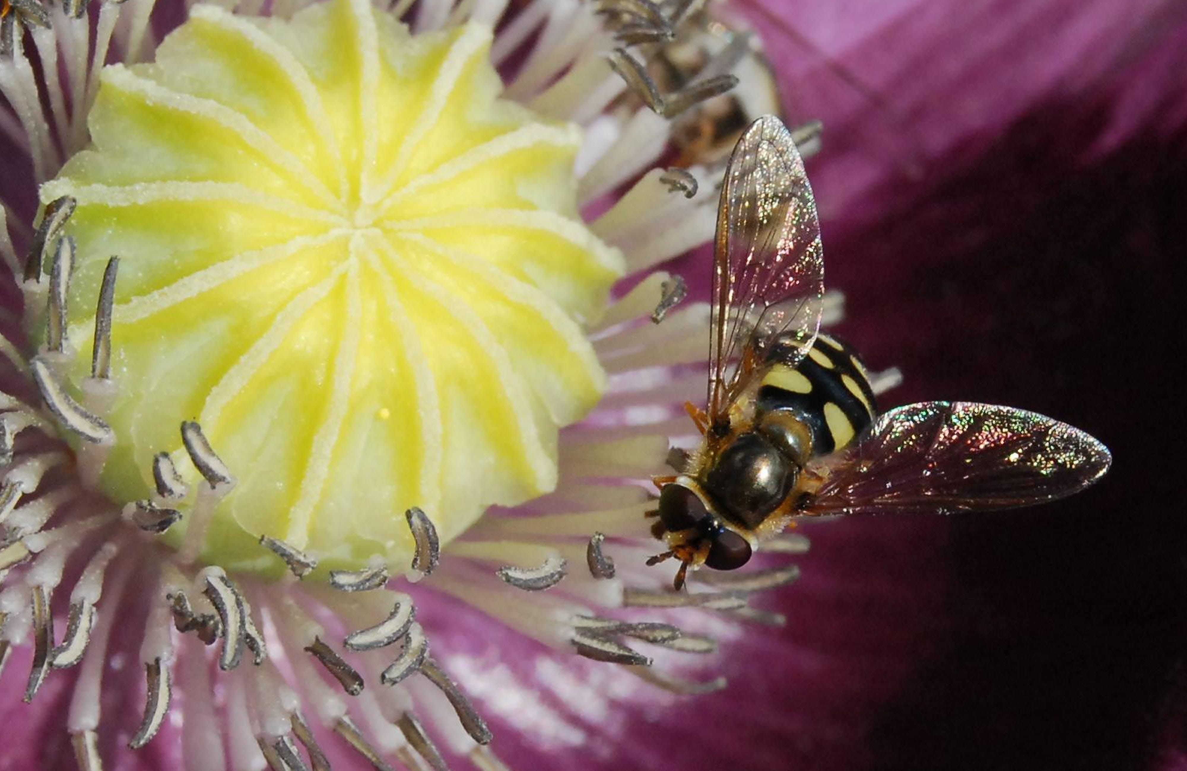 Kostenloses Stock Foto zu biene, blume, flora, flügel
