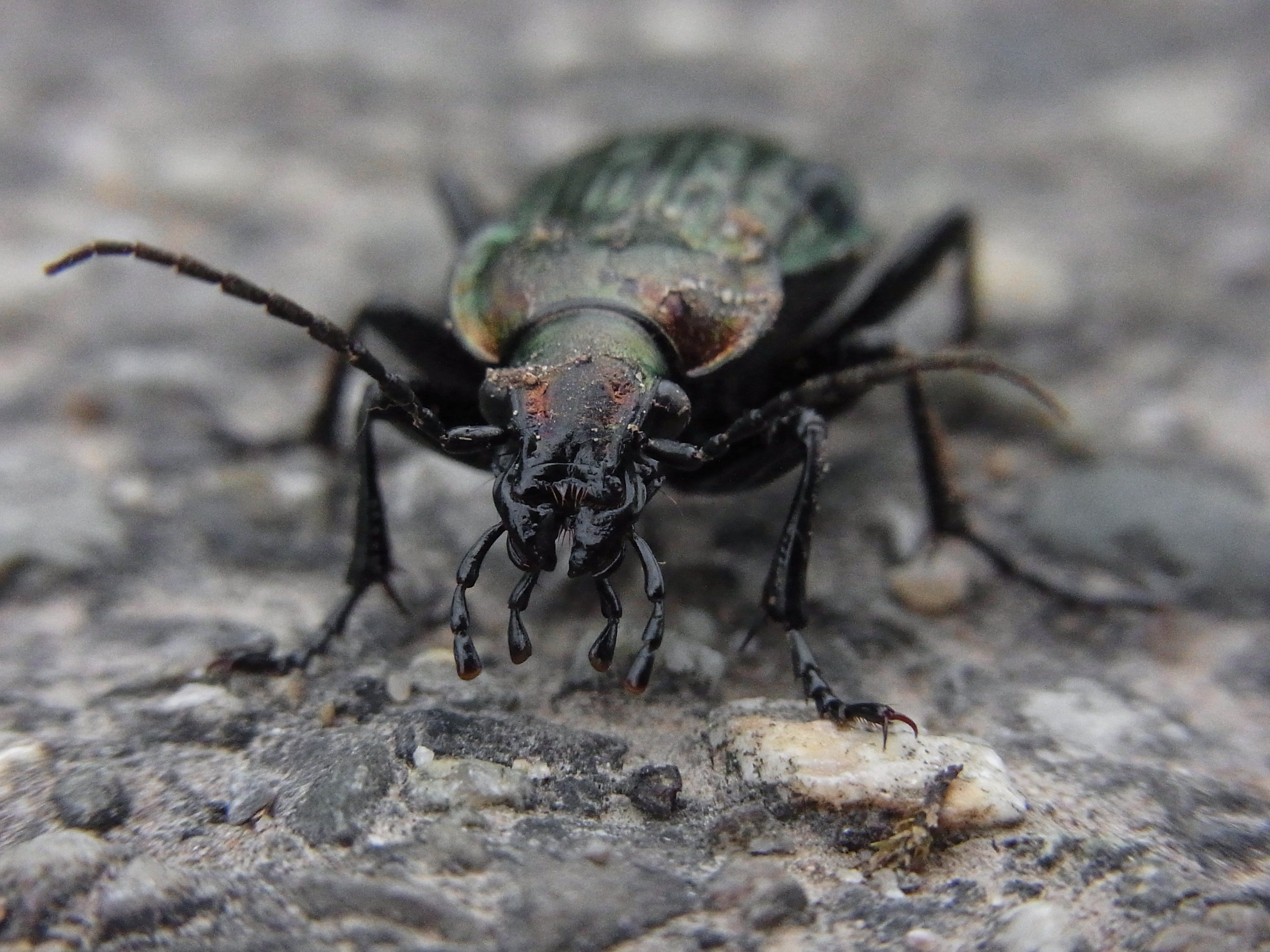 Black and Green Beetle