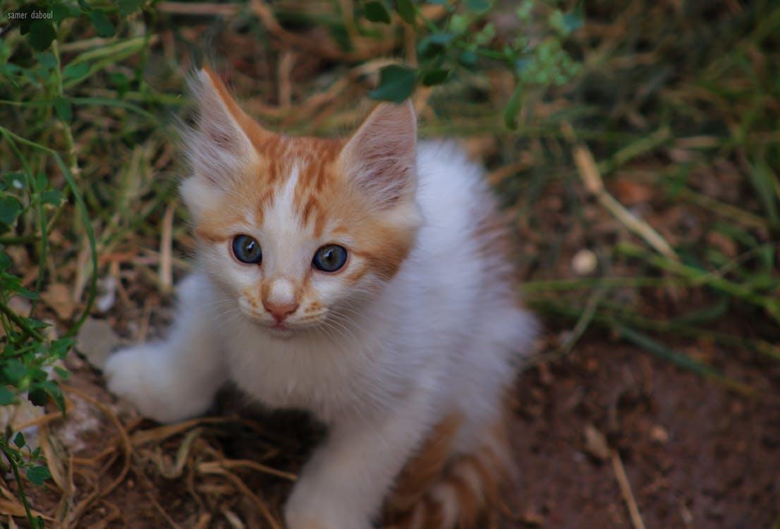 kissa, kissan kasvot