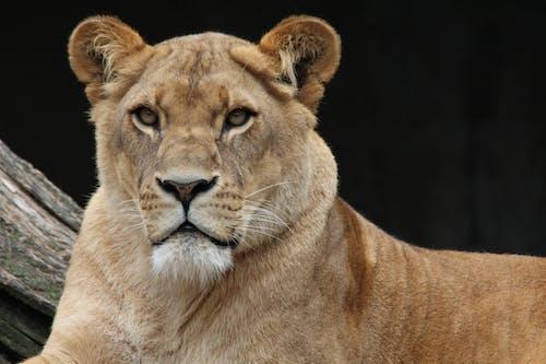 Безкоштовне стокове фото на тему «дика кішка, кішка, лев, левиця»