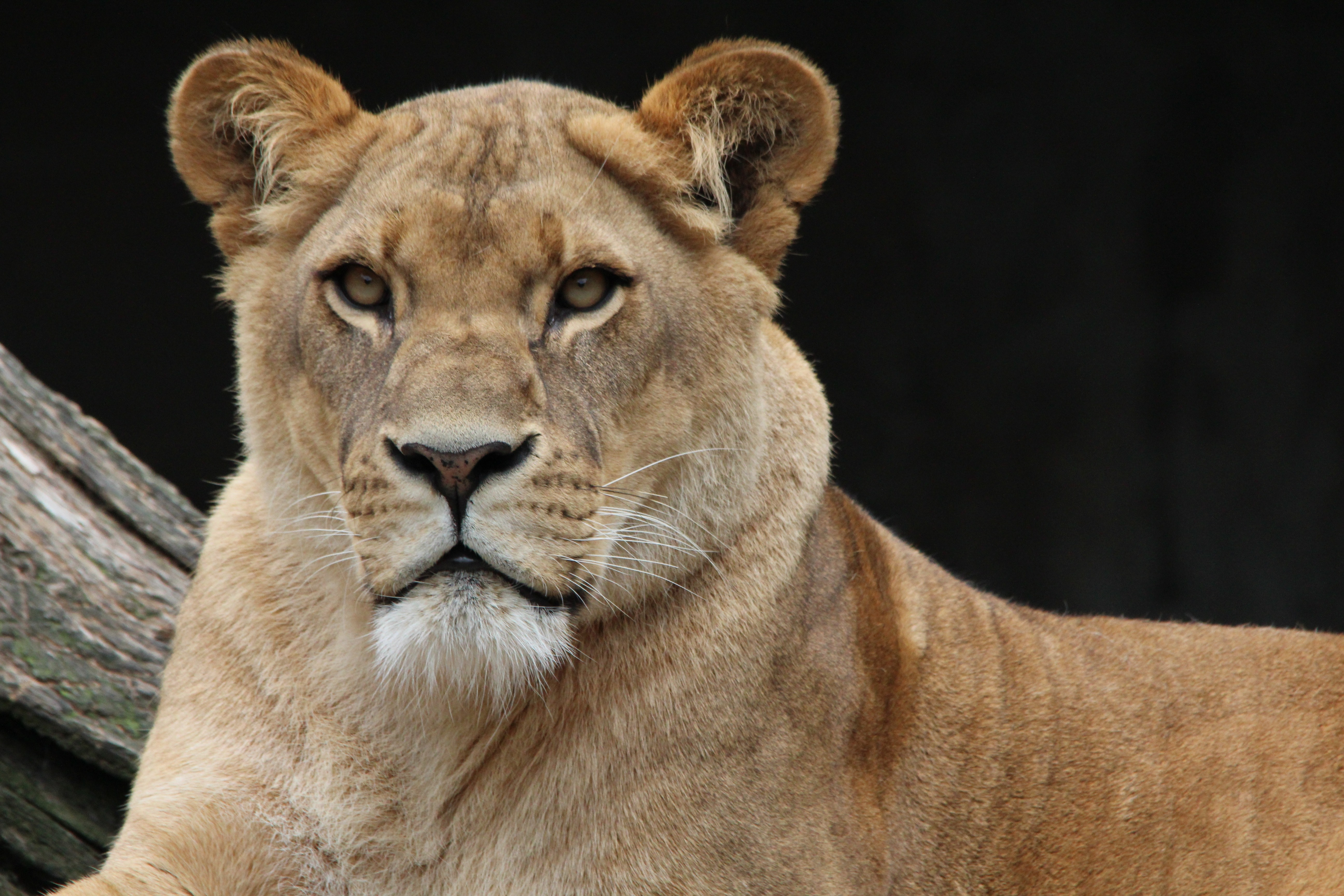 brown lioness free stock photo