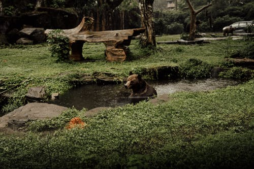 Brown Bear on River