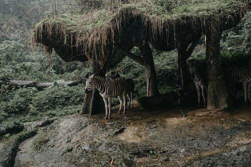 Zebra Standing on Gray Rock