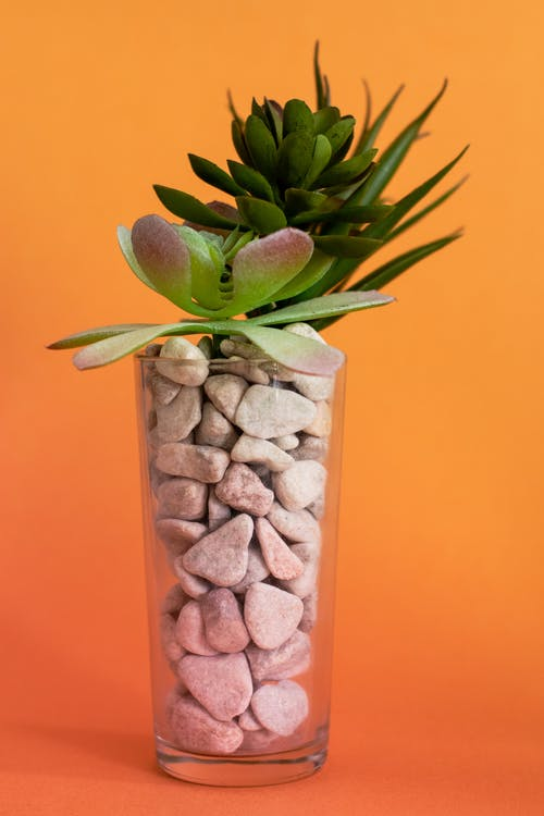 Succulent Plants on Clear Glass Vase with Pebbles