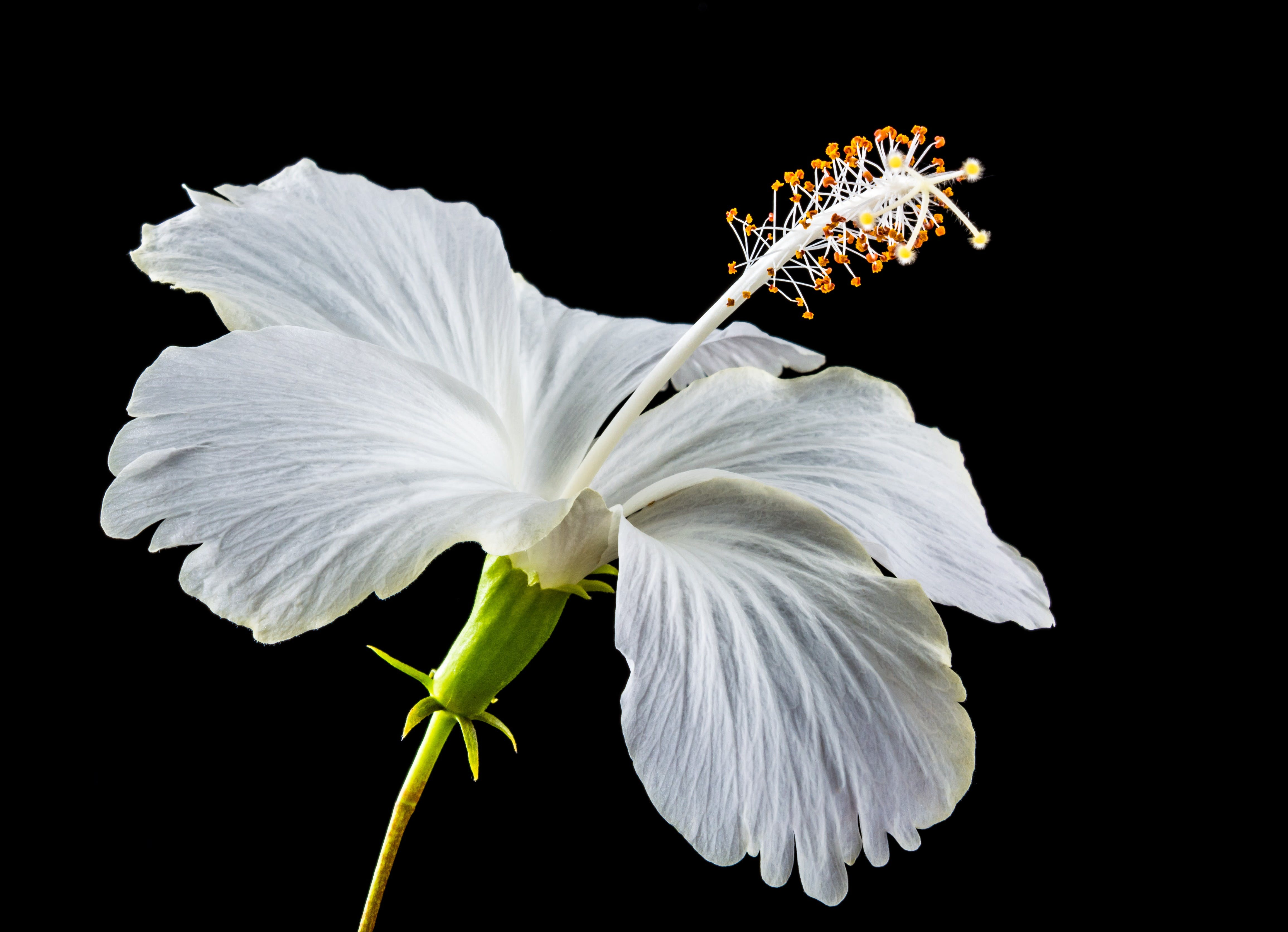 White Hibiscus Flower