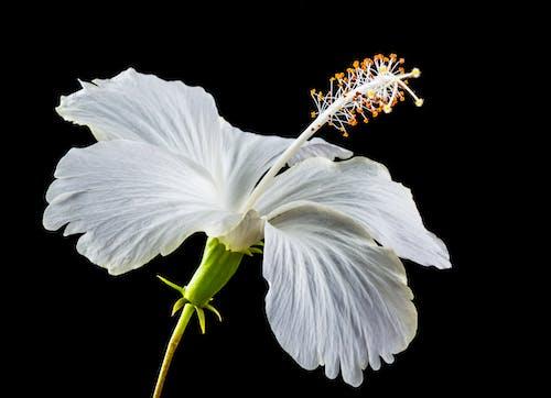 Základová fotografie zdarma na téma bílá, flóra, ibišek, kvést