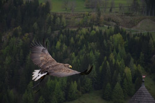Brown Hawk Flying Above Green Trees Artwork
