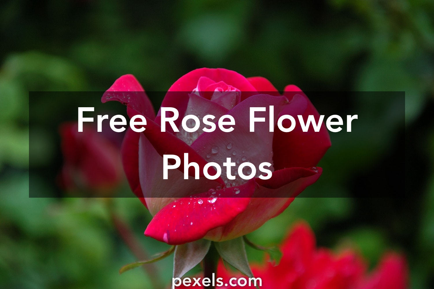 1000 Beautiful Rose Flower Photos Pexels Free Stock Photos
